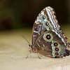 Blue Morpho-3489