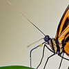 Tiger Longwing Proboscis2