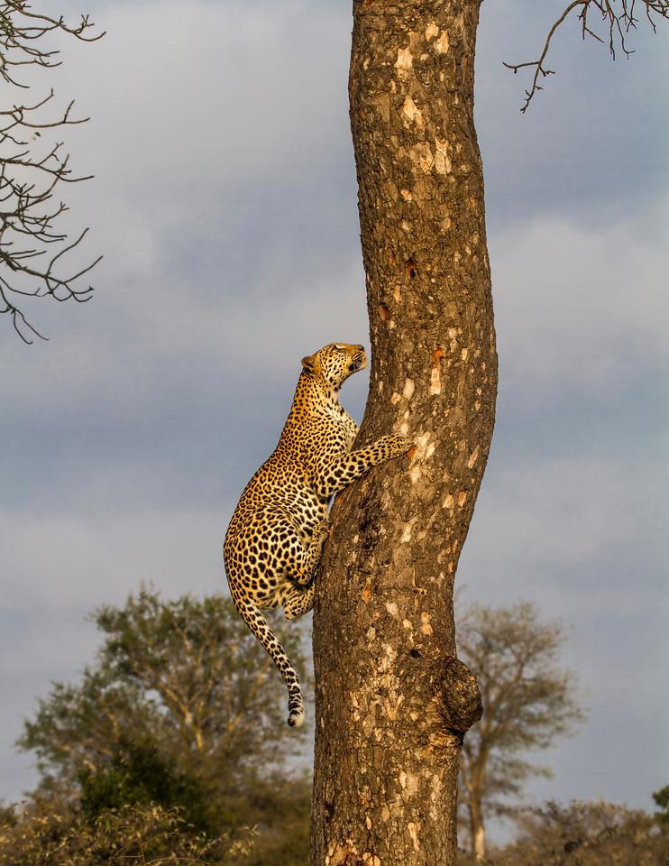 Ngala0717AM-9546 Climbing Leopard