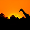Giraffe at Sunset<br /> Chobe National Park, Botswana