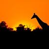 Giraffe at Sunset<br /> Chobe National Park, Botswana