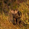 Ngala0716AM-8897 Hyena Cub in Grass