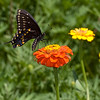 Swallowtail Still Life with Zinnia