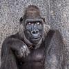 FWZ Lady Gorilla Glancing