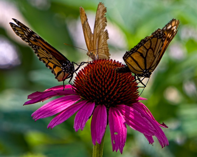 ButterflyBacchanalia