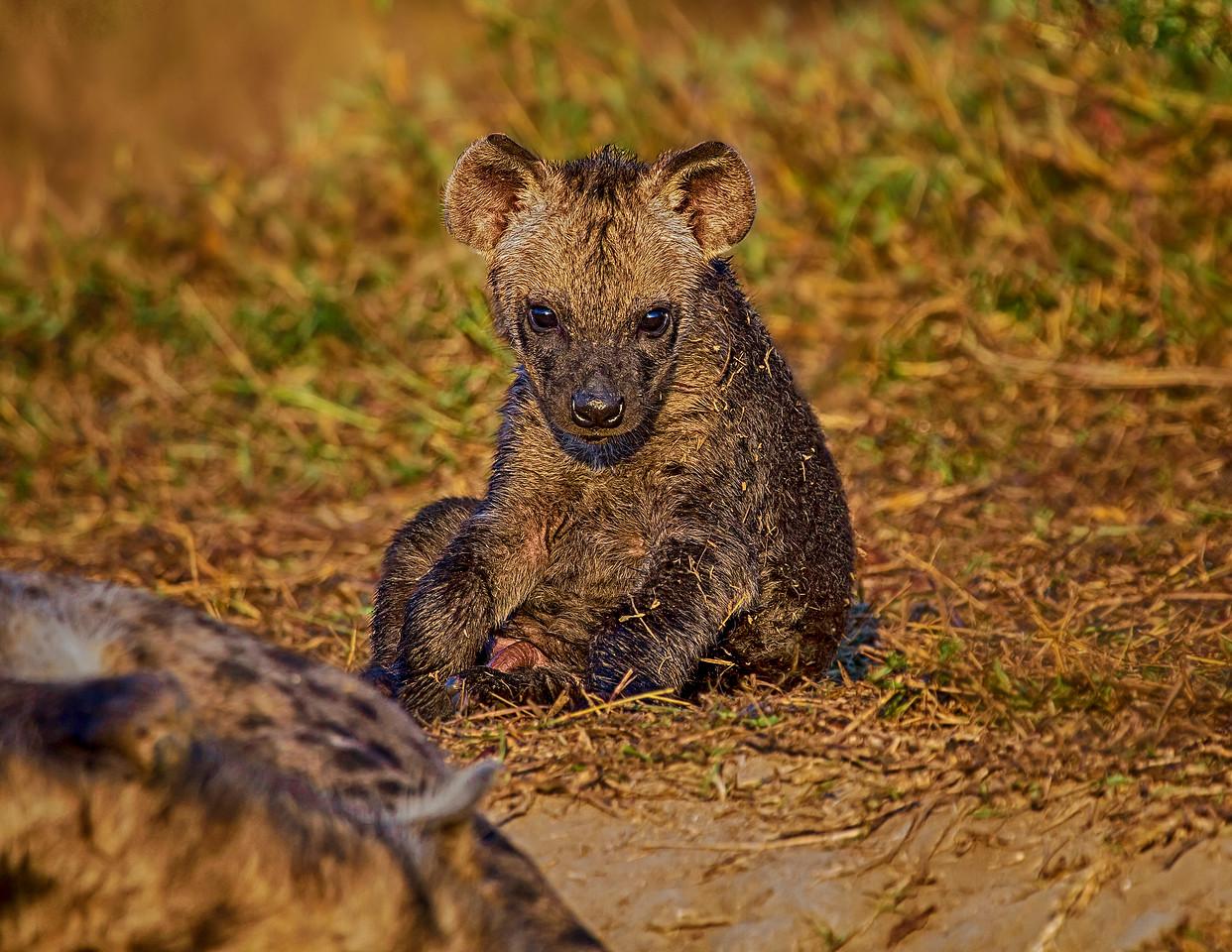 Ngala0716AM-8976 Hyena Cub