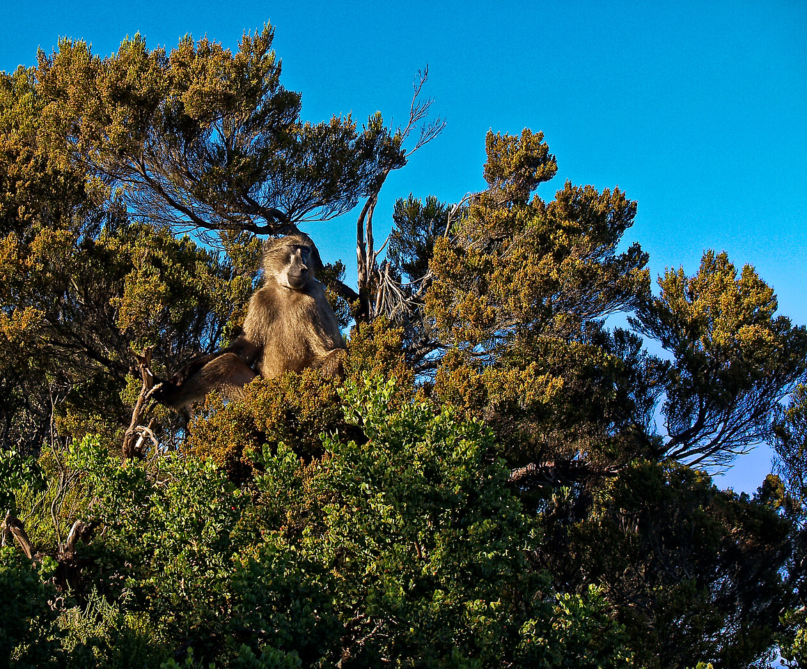 Cape of Good Hope Baboon