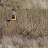 Northern Harrier - 0220