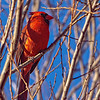 Male Cardinal in Globe Willow Tree<br /> Allen, Texas