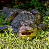 Gator in the Grass-2414