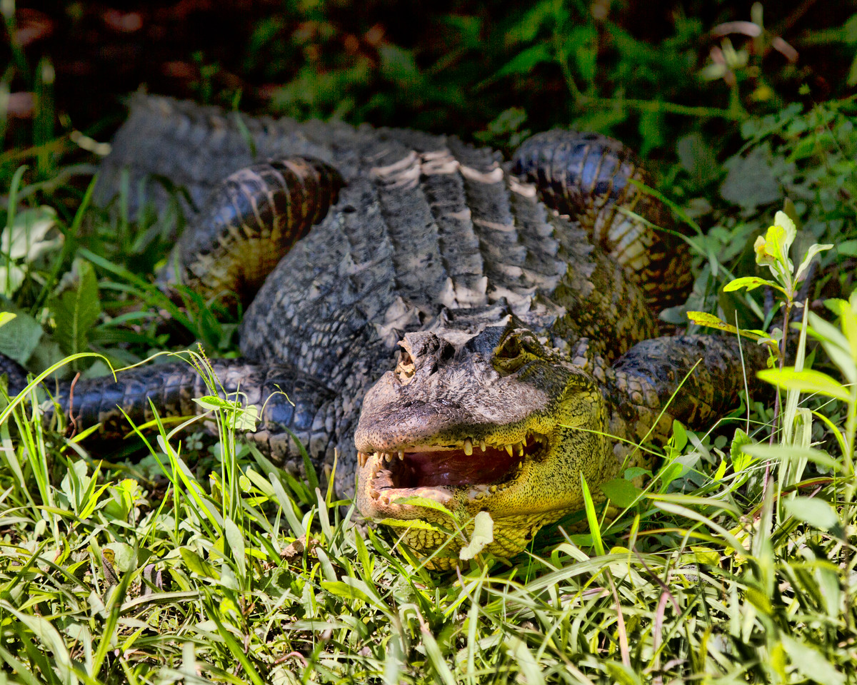 Gator in the Grass-2414