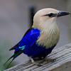 BlueBelliedRoller-0166