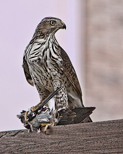 Immature Cooper's Hawk Sitting on a Fence<br /> Allen, TX
