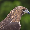 Red_Tailed_Hawk-1554