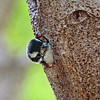 Downy Woodpecker Chick