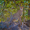 Ngala0713AM-6889 Cheetah Mound 1