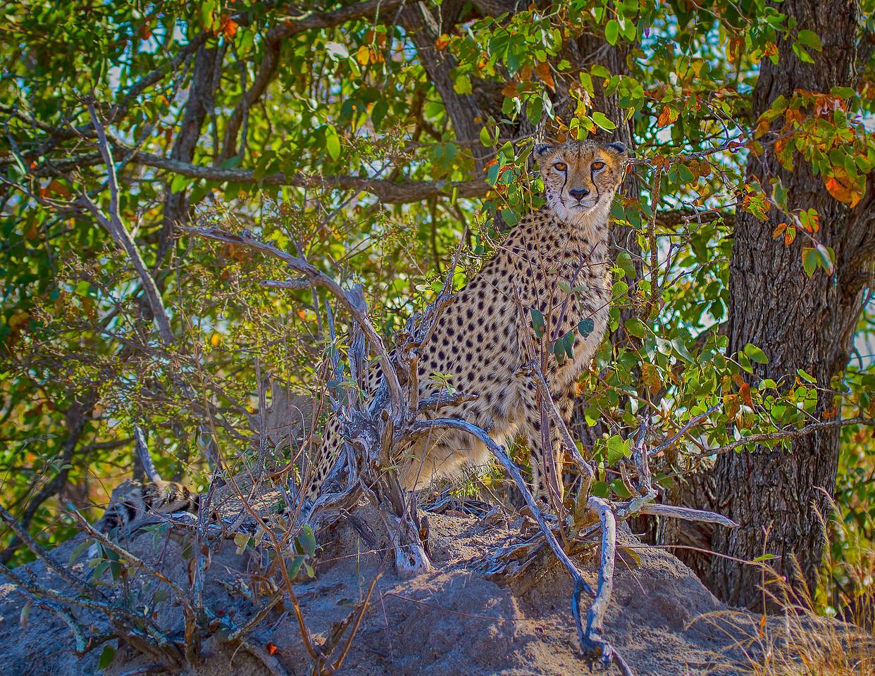 Ngala0713AM-6889 Cheetah Mound 1
