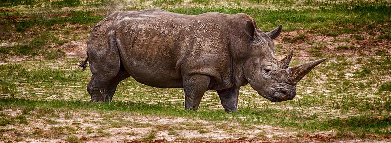 White Rhino-2184
