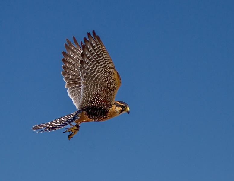 Aplomado Falcon-2997
