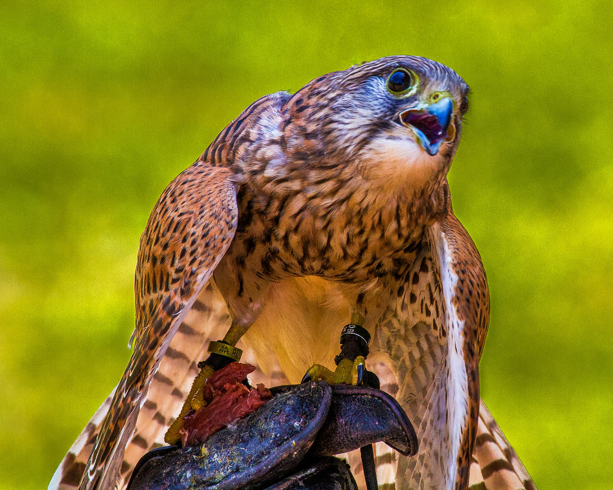 CenterBirdsOfPrey2014-0523 (Kestrel on Glove)