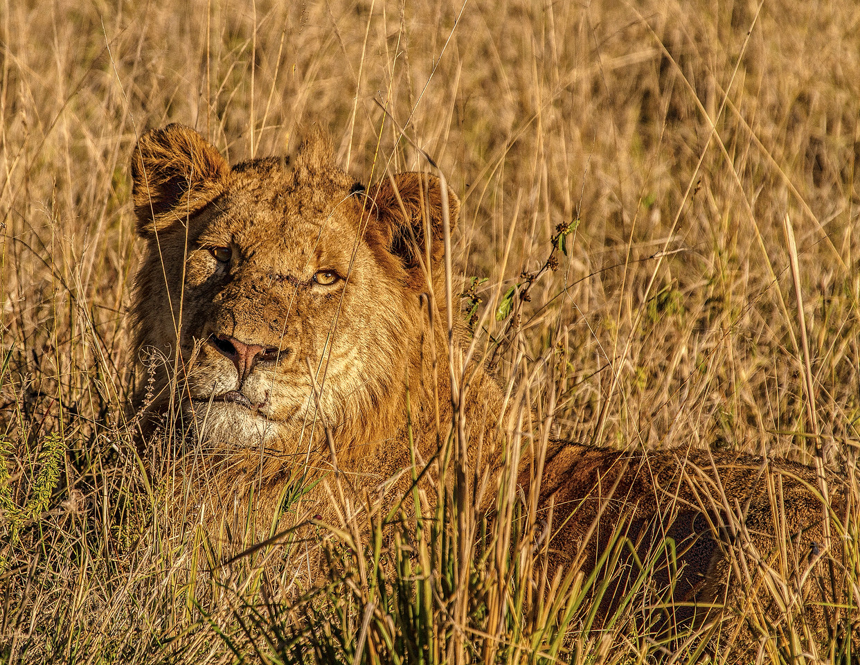 Ngala0713PM-7207 Young Male Lion
