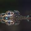Gator Eye Reflection
