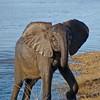 Elephant Ashore