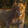 Ngala0715AM-8130 Lioness