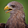 Yellow Billed Kite<br /> Center for Birds of Prey, Awendaw, South Carolina