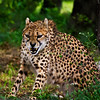 Snarling Cheetah