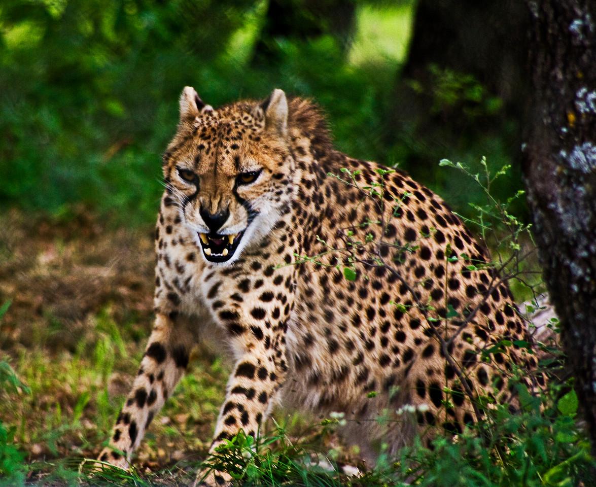 Snarling Cheetah