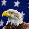 Bald Eagle-2873