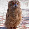 Eurasian Eagle Owl Chick<br /> Center for Birds of Prey, Awendaw, South Carolina