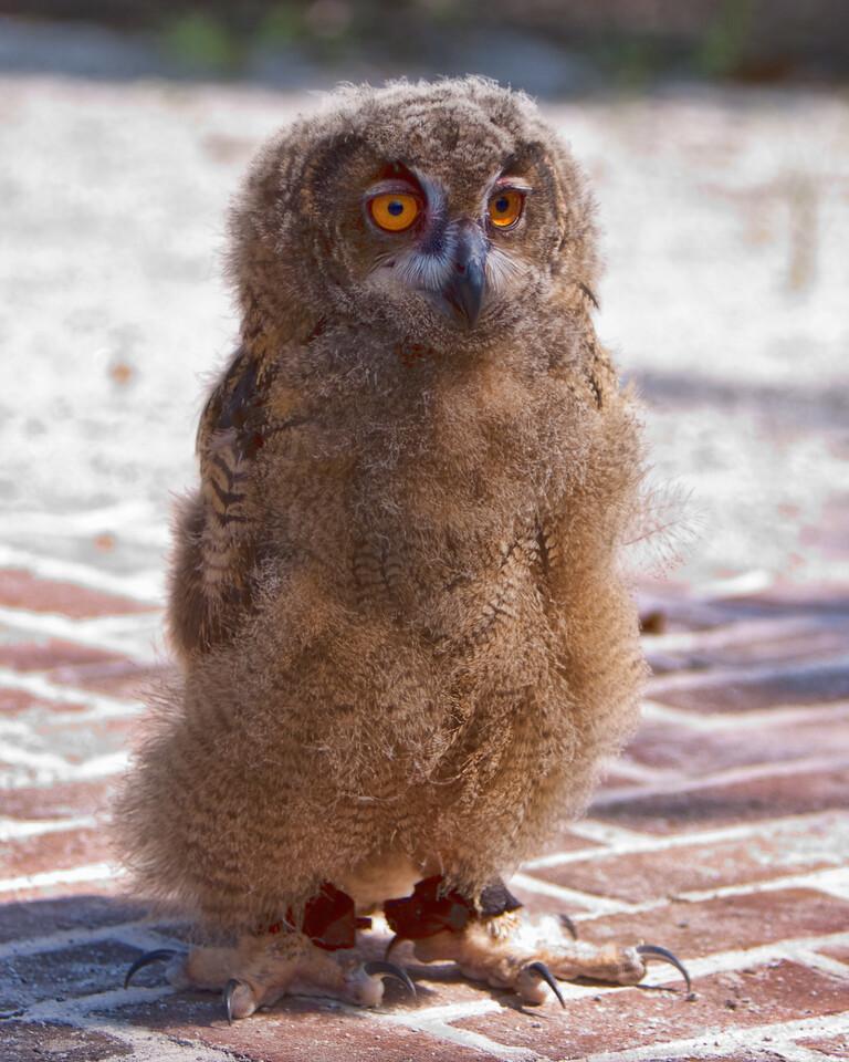 Eurasian Eagle Owl Chick<br /> Center for Birds of Prey, Awendaw, South Carolina