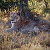 Resting Lioness<br /> Ngala Private Game Reserve, South Africa