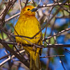 Perching Taveta Golden Weaver