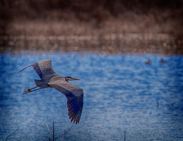 Great Blue Heron in flight_-9340