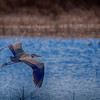 Great Blue Heron in flight_-9340
