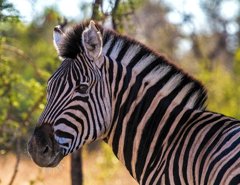 Ngala0716AM-9108 Zebra