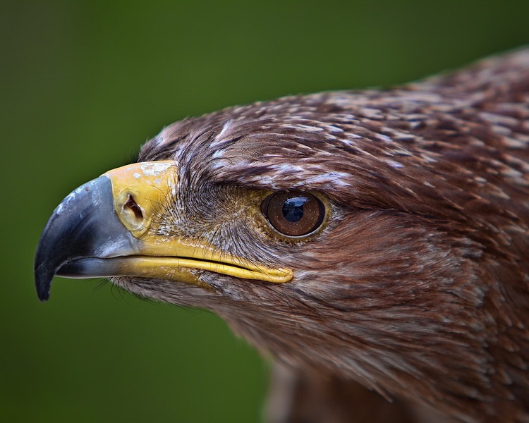 """FOCUS"" <br /> Tawny Eagle<br /> Center for Birds of Prey, Awendaw, South Carolina"