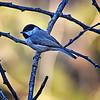 Black Capped Chickadee <br /> McKinney,Texas
