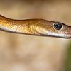 Trans Pecos Rat Snake-6215