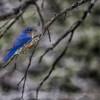 Bluebird - 2071