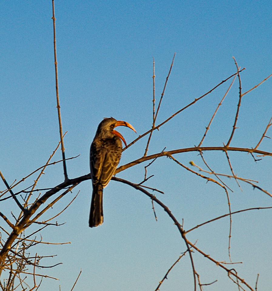 Orange Beaked Hornbill