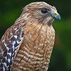 Red_Shouldered_Hawk-1-2