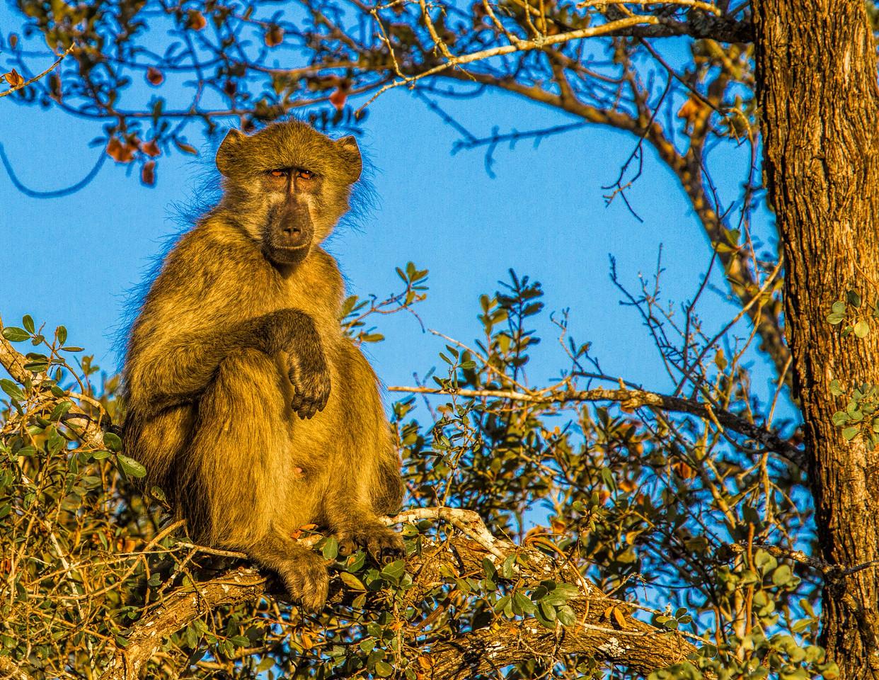 Ngala0714AM-7555 Baboon
