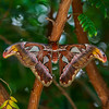 TexasDiscoveryGardens2013-0811 Atlas Moth