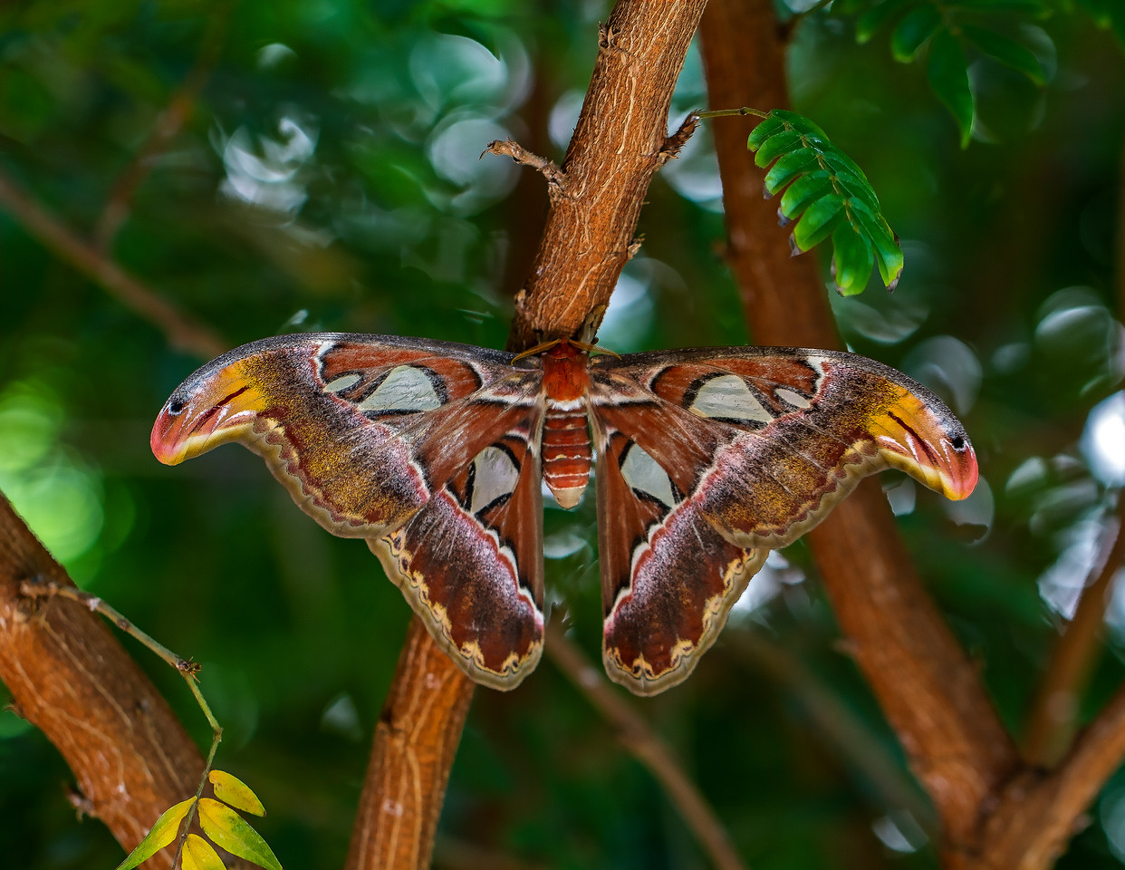 TexasDiscoveryGardens2013-0811 Atlas Moth