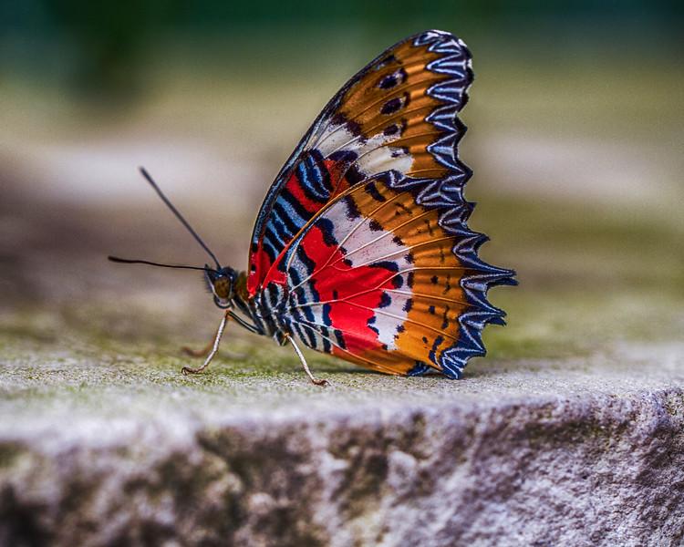 Malay Lacewing-0925