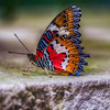 Malay Lacewing-0925